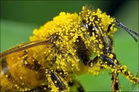 polen albine