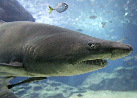 cartilaj rechin